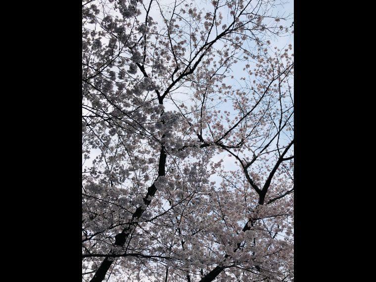 2019お花見11
